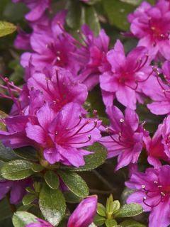 Azalée du Japon Amoena - Rhododendron hybride