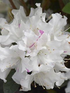 Azalée japonaise 'Encore Lily'