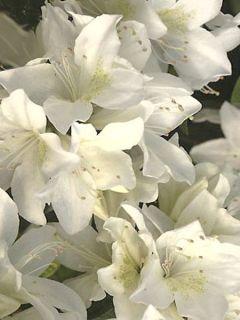Azalée du Japon Palestrina - Rhododendron hybride
