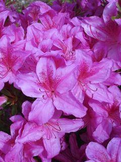 Azalée japonaise 'Purple Splendor'