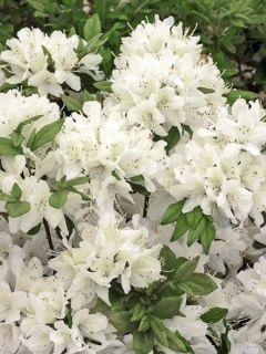 Azalée du Japon Schneewittchen - Rhododendron hybride