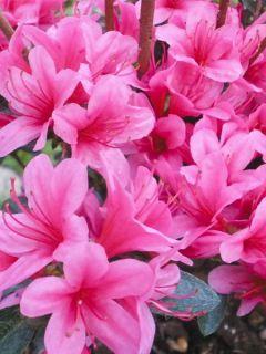 Azalée du Japon Sylvester - Rhododendron hybride