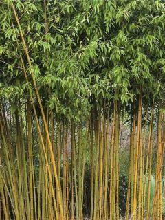 Bambou à cannes jaunes