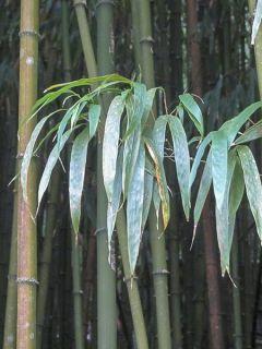 Bambou à chaume carré