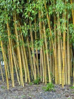 Bambou doré 'Holochrysa'