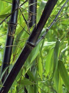 Fargesia Black Dragon - Bambou noir non traçant