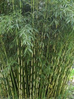 Fargesia robusta Campbell - Bambou non traçant