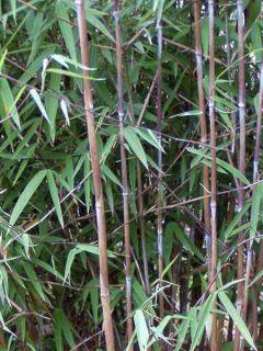 Fargesia nitida Obelisk - Bambou non traçant