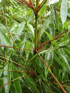 Bambou non traçant 'Wenchuan'