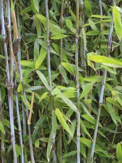 Fargesia Winter Joy - Bambou non traçant