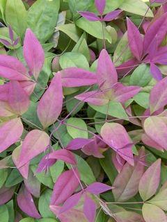 Bambou sacré - Nandina domestica Blush Pink