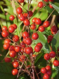 Nandina domestica Richmond - Bambou sacré