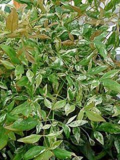 Nandina domestica Twilight - Bambou sacré panaché