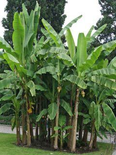 Musa basjoo - Bananier du Japon pot de 3-4L