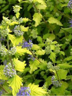 Barbe-bleue grisonnante 'Sunshine Blue'®