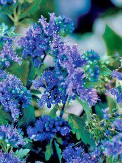 Caryopteris clandonensis First Choice - Spirée bleue