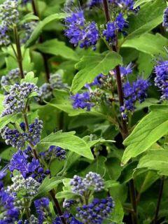 Caryopteris Grand Bleu® - Spirée bleue, Barbe-bleue