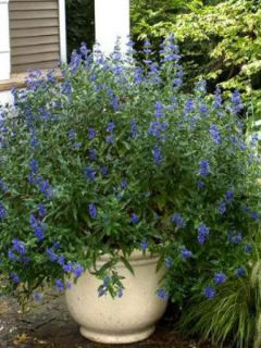 Barbe-bleue, Spirée bleue Petit Bleu® 'Minbleu'