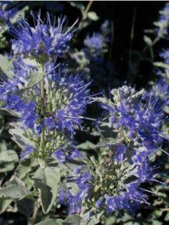 Barbe-bleue, Spirée bleue 'Sterling Silver' -lissilv-