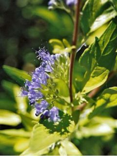 Caryopteris Worcester Gold - Spirée bleue, Barbe-bleue