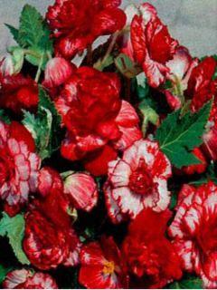 Begonia Double Marmorata