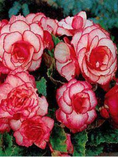 Begonia Grandiflora Picotee blanc rouge