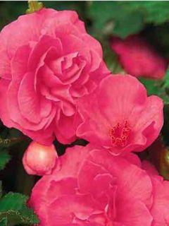 Bégonia géant double 'Rose'