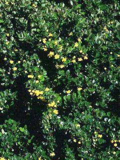 Berberis buxifolia Nana - Epine-vinette à feuilles de buis