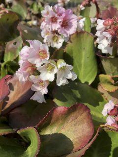 Bergénia à feuilles cordées 'Harzkristall'