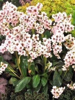 Bergenia Dragonfly Angel Kiss - Plante des savetiers rose pâle