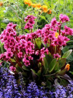 Bergenia Flirt - Plante des savetiers