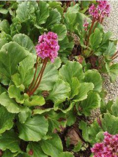 Bergenia Morgenrote - Plante des savetiers