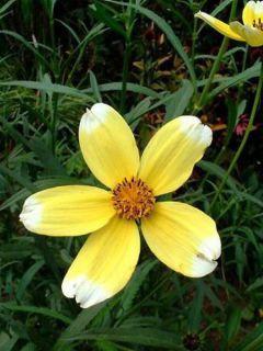 Bidens aurea Halney s Lemon Drop