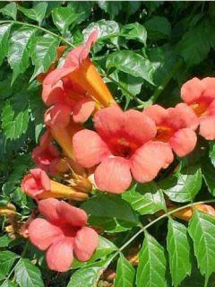 Campsis grandiflora - Bignone à grandes fleurs