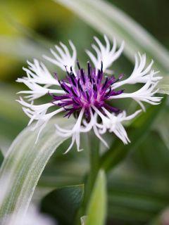 Bleuet montagnes - Centaurée Purple Heart