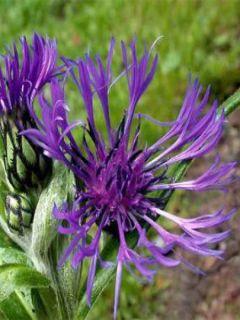 Bleuet des montagnes - Centaurea montana Violetta
