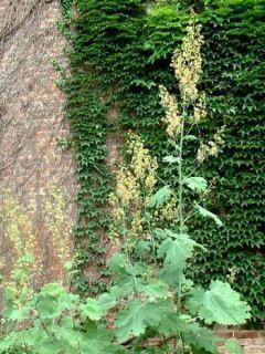 Bocconie cordée