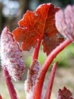 Bocconie Spetchley Ruby - Macleaya microcarpa