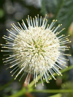 Cephalanthus occidentalis Sugar Shack - Bois-bouton nain.
