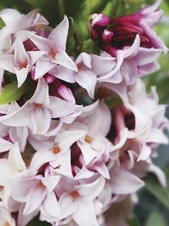 Daphne Perfume Princess® - Daphné parfumé