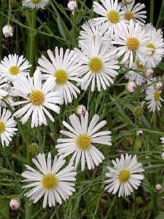 Boltonie, faux aster - Boltonia astroides