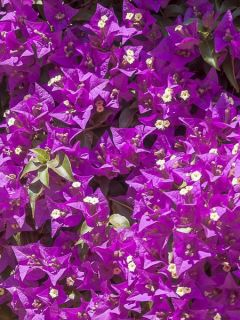 Bougainvillée - Bougainvillea spectoglabra Violet de mèze