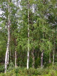 Betula pendula (alba, verrucosa) - Bouleau pleureur.