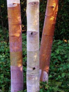 Betula albosinensis Septentrionalis - Bouleau de Chine