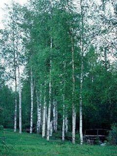 Betula pubescens - Bouleau pubescent