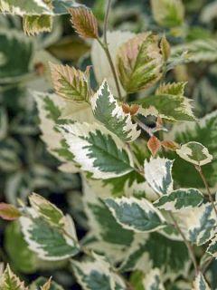 Bouleau noir - Betula nigra Shiloh Splash