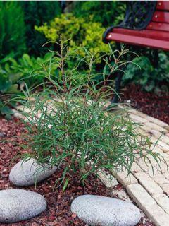 Rhamnus frangula Asplenifolia - Bourdaine, Frangula alnus