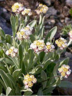 Anaphalis alpicola - Bouton d'argent des Alpes