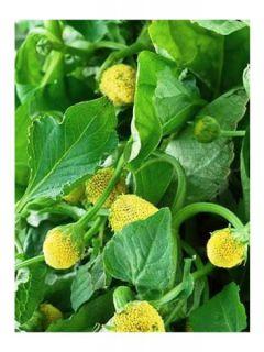 Cresson de Para jaune - Bredy Mafana - Spilanthes oleracea