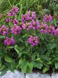 Prunella grandiflora Bella Deep Rose - Brunelle à grandes fleurs